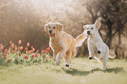 Two Golden retriever dogs running after each other
