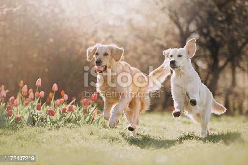 Two Golden retriever dogs running after each other in spring