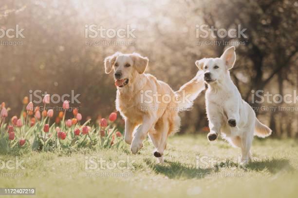 Two golden retriever dogs running after each other picture id1172407219?b=1&k=6&m=1172407219&s=612x612&h=wg6cexzsstcw4iutetoo4vhjs3vkeovsxdttbu2u h0=