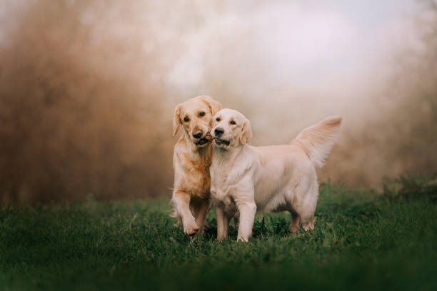 Two golden retriever dogs running with stick picture id1172406833?b=1&k=6&m=1172406833&s=612x612&w=0&h=t8frflc t8thi dkjfx2wkdncyzldorzeyhruh nvxy=