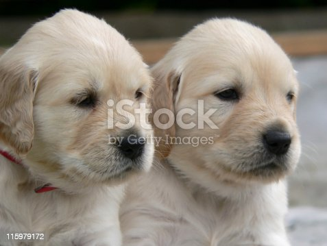 portrait of two fluffy 4 weeks old Golden Retriever puppies side by side with dreamy eyes