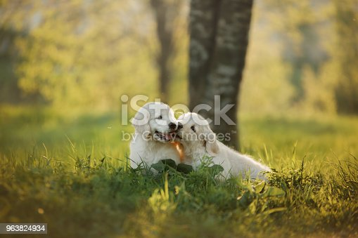 two Golden Retriever puppys runs on grass and play. outside