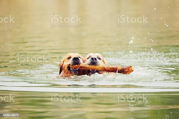 Two golden retrievers dogs picture id488610672?b=1&k=6&m=488610672&s=612x612&h=fhn ehb6uyk7yvyotkugmwnpqo7k3czjmsg3jpimkrk=