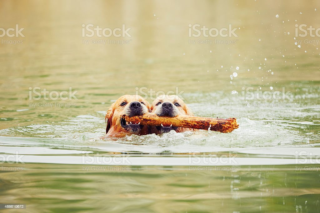 Two golden retrievers dogs stock photo