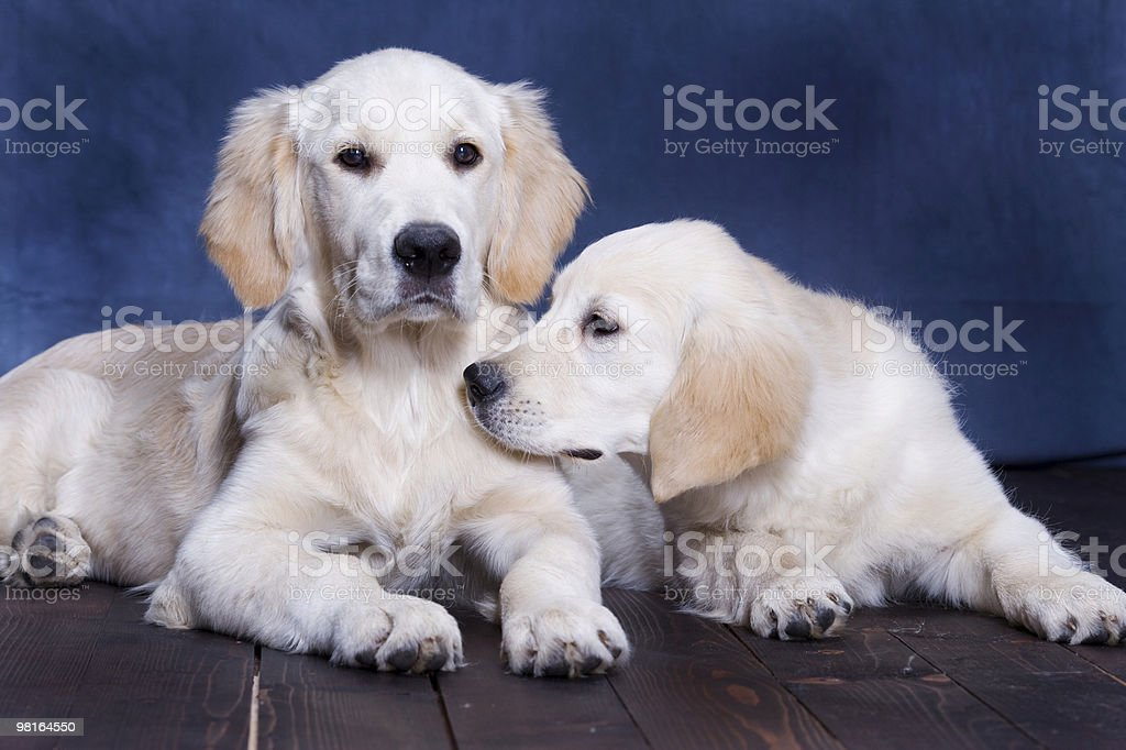 Two Golden retrievers royalty-free stock photo