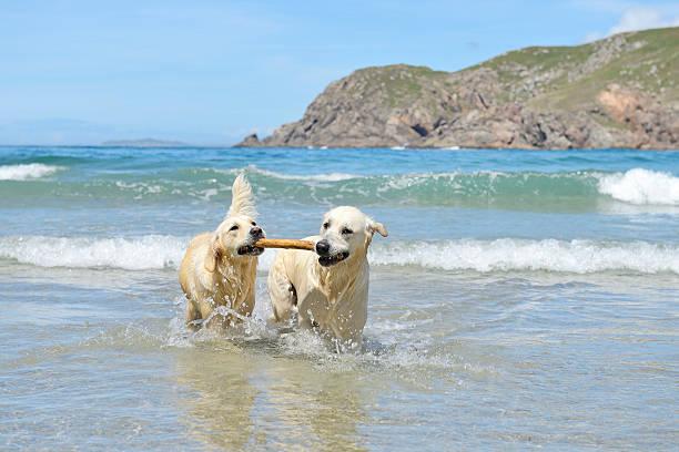 Due golden retrievers giocando in mare - foto stock