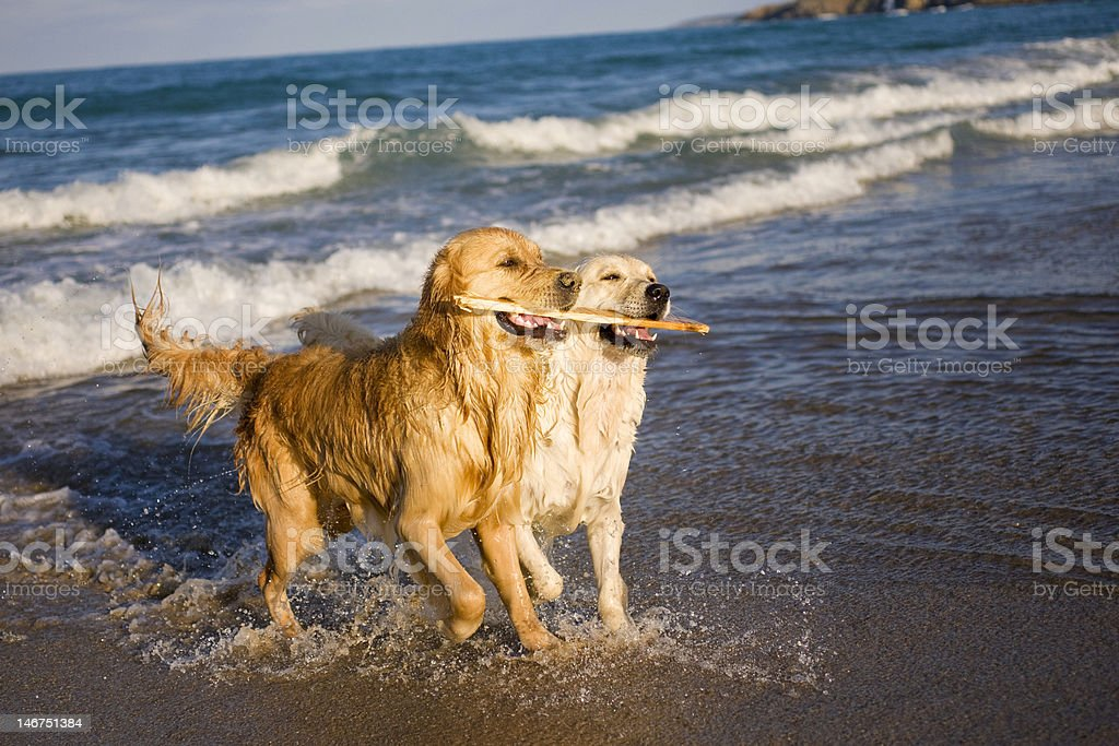 Two Golden Retrievers playing with stick stock photo