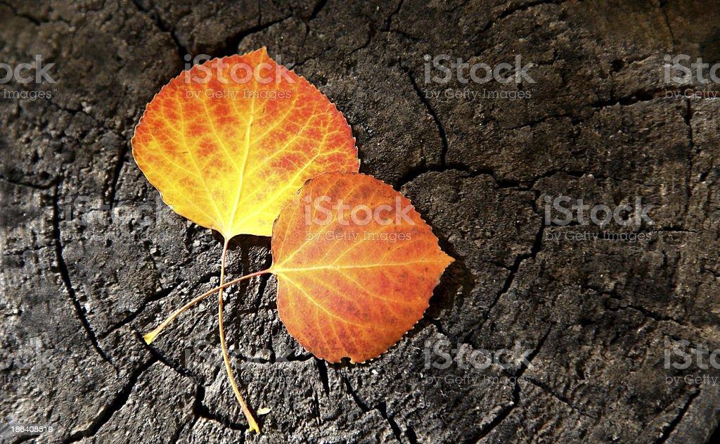 Two Golden Yellow Aspen Leaves stock photo