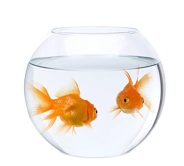 deux poissons rouges dans le fish bowl - poisson rouge photos et images de collection