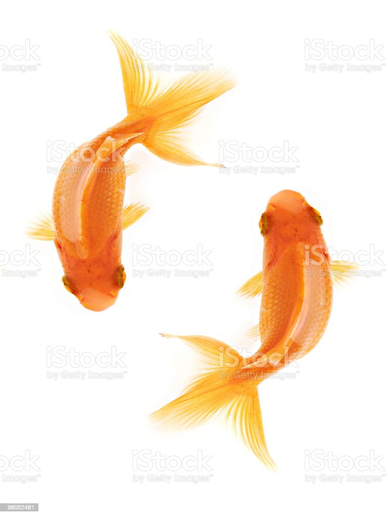 Two goldfish swimming royalty-free stock photo
