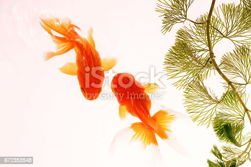 istock Two goldfishes swimming 672353548