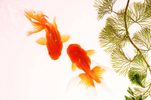 dos peces de colores nadando - algas fondo blanco fotografías e imágenes de stock