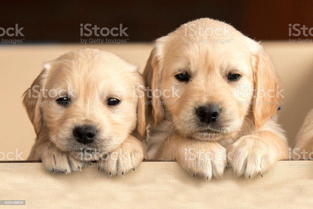 Two Goleden Retriever Puppies stock photo