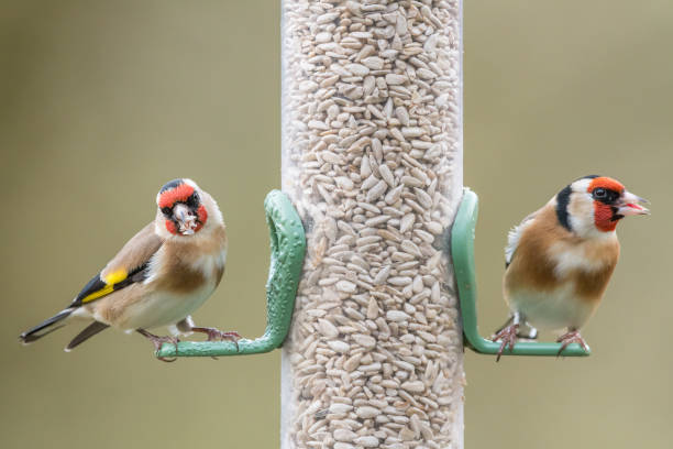 Two golfinches seed feeder Two goldfinch (Carduelis carduelis) on sunflower seed feeder. UK, December finch stock pictures, royalty-free photos & images