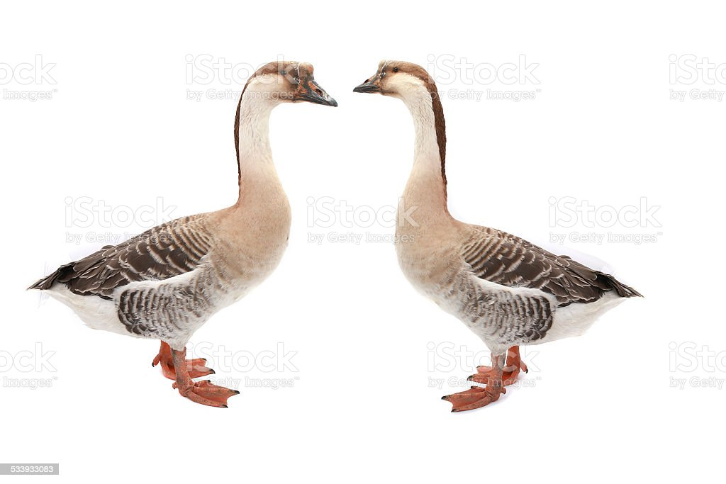 two goose stock photo