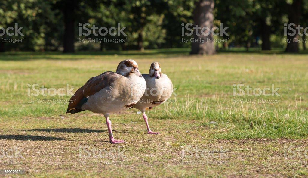 Two gooses stock photo