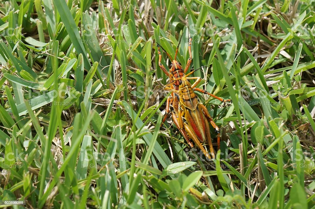 two grasshoppers mating stock photo