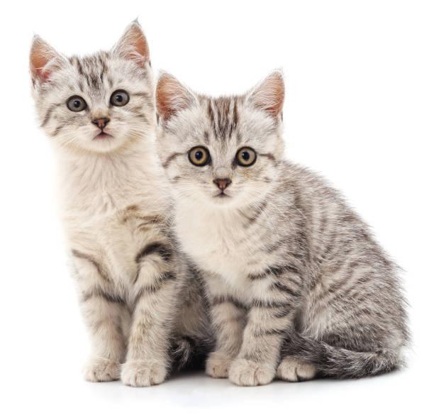 Two gray cat picture id1182730403?b=1&k=6&m=1182730403&s=612x612&w=0&h=xuj ecndlqm041t5cbbvt0teka2u coqximkll6e01k=