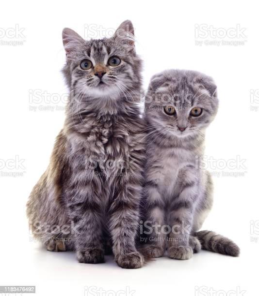 Two gray cat picture id1183476492?b=1&k=6&m=1183476492&s=612x612&h=wwxcpgccqkegts4ofnrebyalrhwjra2aml jvjvaddg=