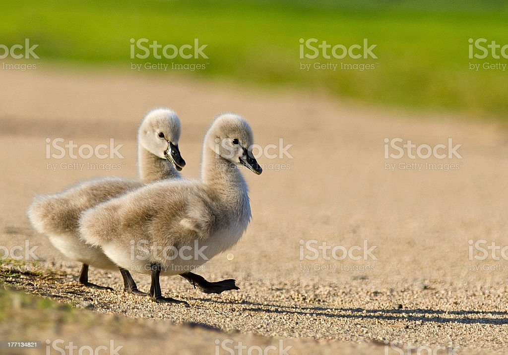 Two gray goslings on a gravel path stock photo