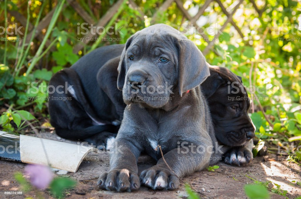 Two Gray Great Dane Dogs Puppies Outdoor Stock Photo More Pictures