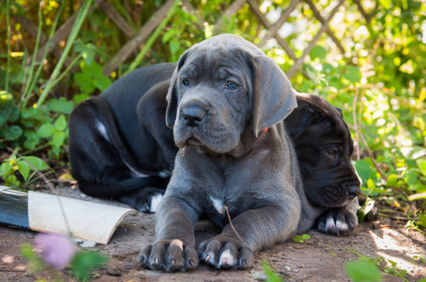 two Gray Great Dane dogs puppies outdoor stock photo