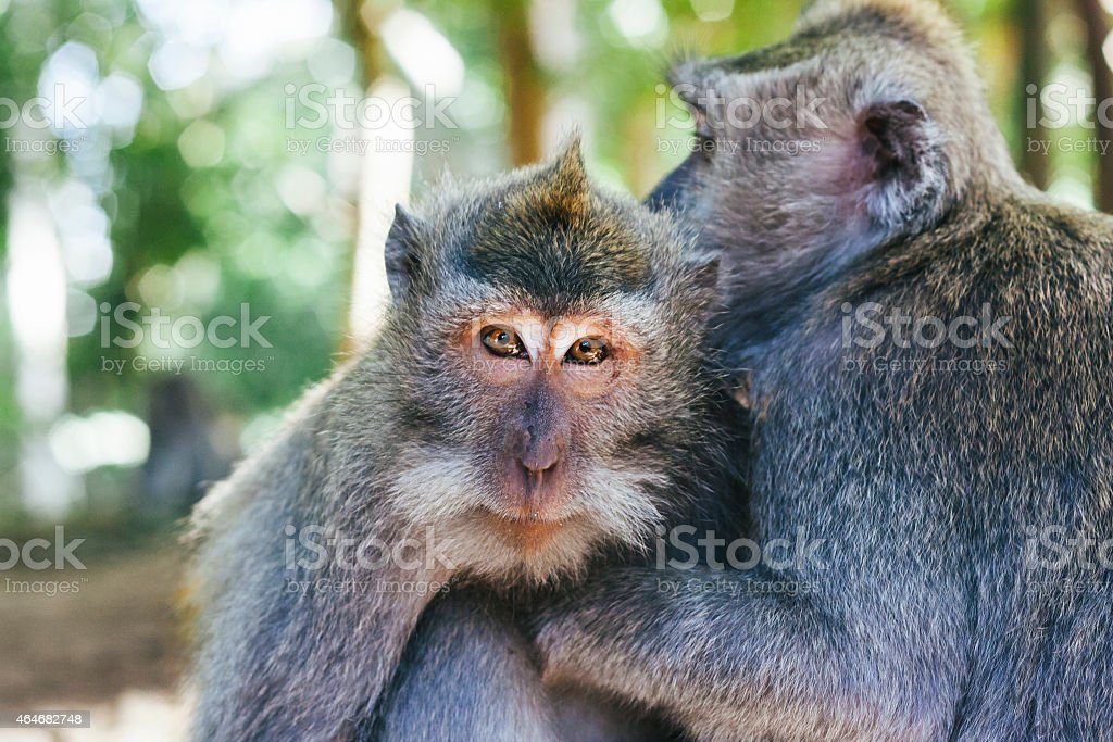 Two gray Macaque monkeys sitting close together stock photo