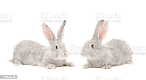 Two gray rabbit picture id1158030487?b=1&k=6&m=1158030487&s=612x612&h=r3urzf6ladxuumzeeb3qqu alrxmarquvv28abma7sa=
