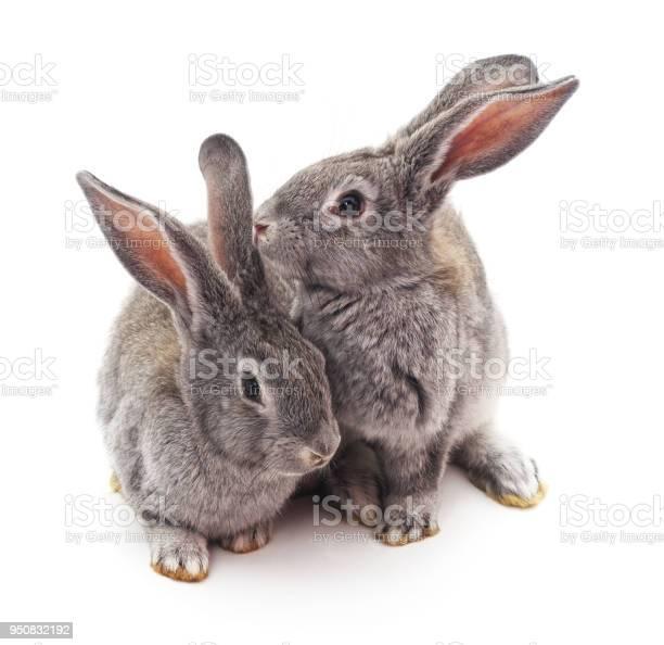 Two gray rabbits picture id950832192?b=1&k=6&m=950832192&s=612x612&h=snuo4evlgwlmduxnpb5gcwcohqkjaphl4cgxalc50um=