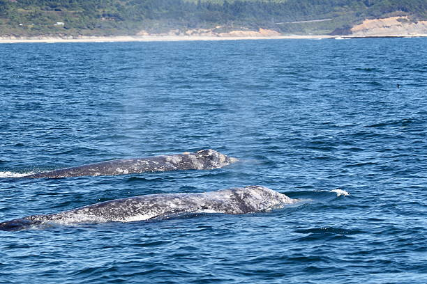 Two Gray Whales Swimming stock photo