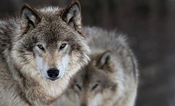 two gray wolves - wolf bildbanksfoton och bilder