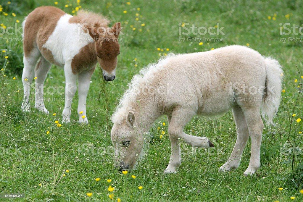 Two Grazing Falabella Foal stock photo