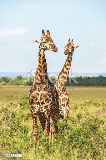 Two giraffe graze in the grass on the Maasai Mara plains.