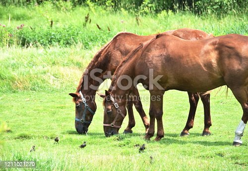 Two big brown horses grazing by birds.
