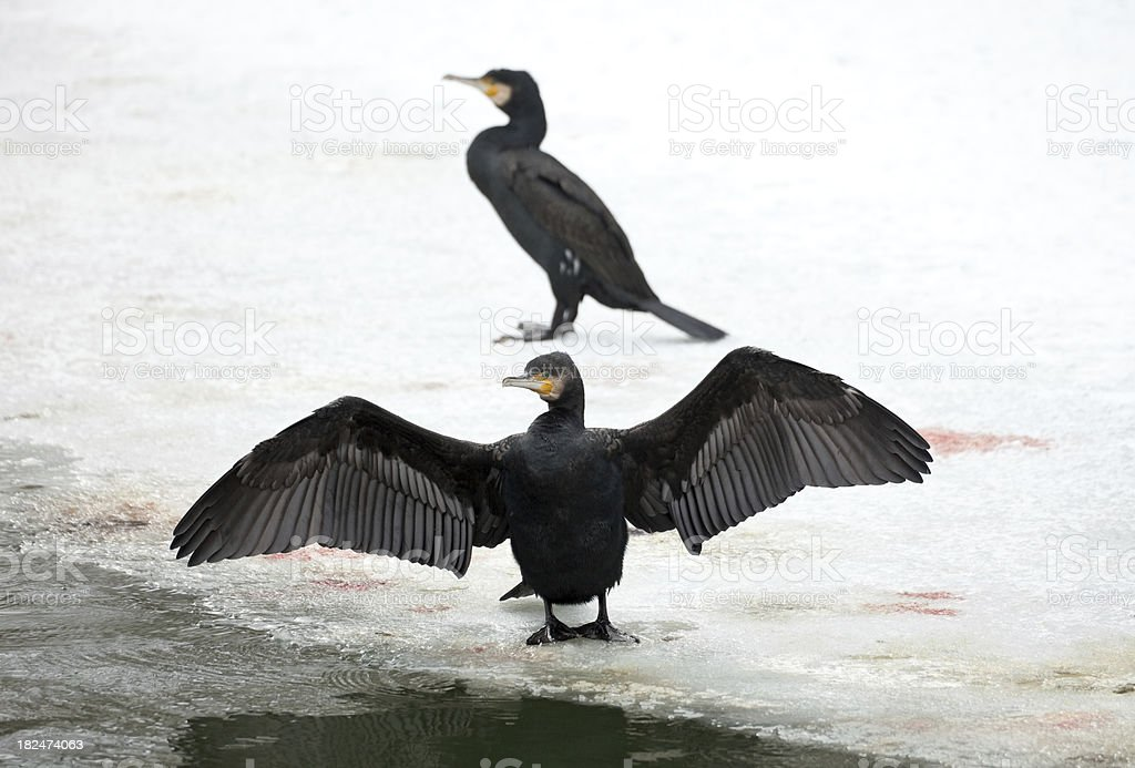 Two Great Cormorants (Phalacrocorax carbo) stock photo