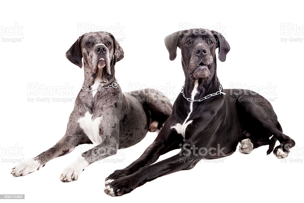 Two great Dane dogs on white stock photo