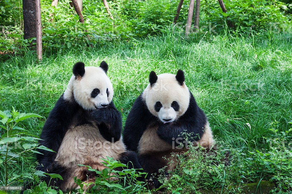 Two Great Pandas playing together - Chengdu, Sichuan Province, China stock photo