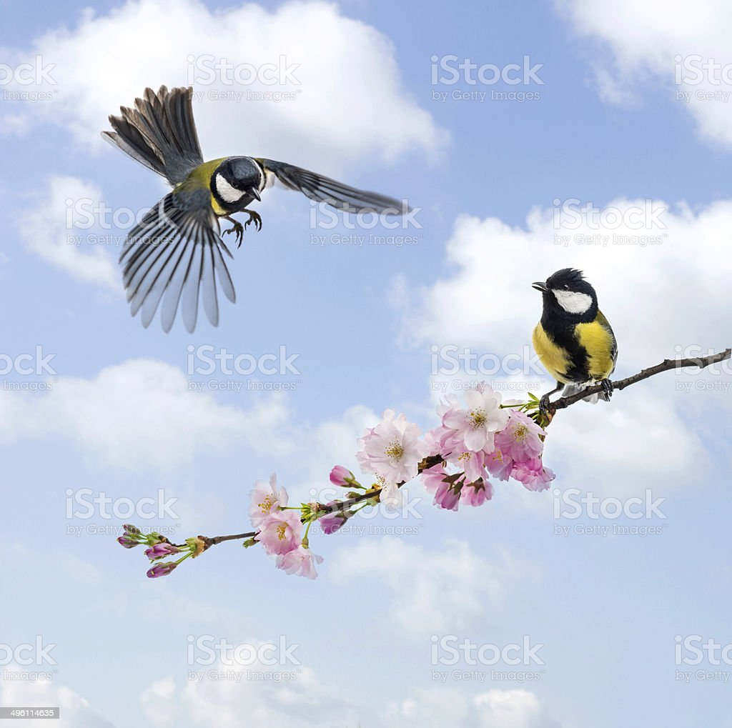 Two Great tits, clouded sky, flowering branch stock photo
