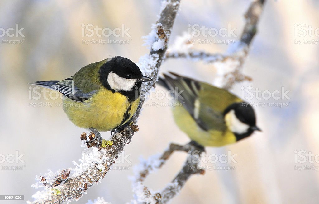 two great tits royalty-free stock photo