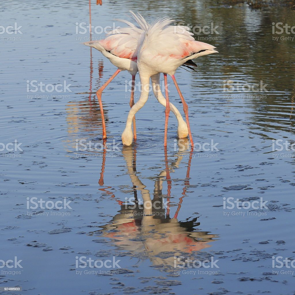 two greater flamingoes crossing legs and necks royalty-free stock photo