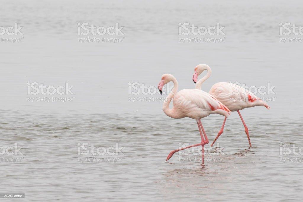 Two greater flamingos walking at Walvis Bay Lagoon, Namibia stock photo