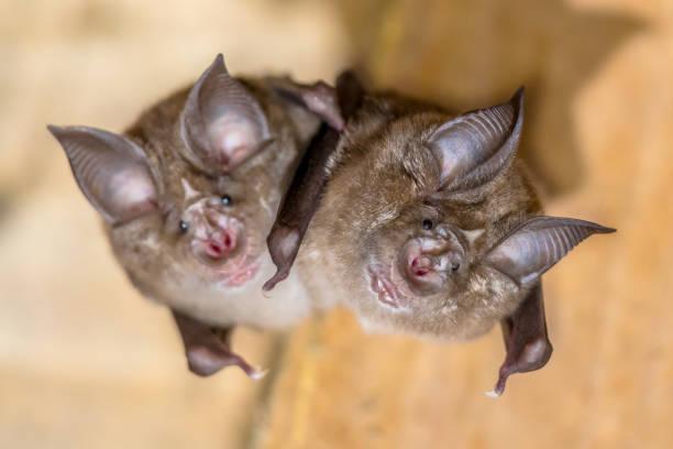 Two Greater horseshoe bat stock photo