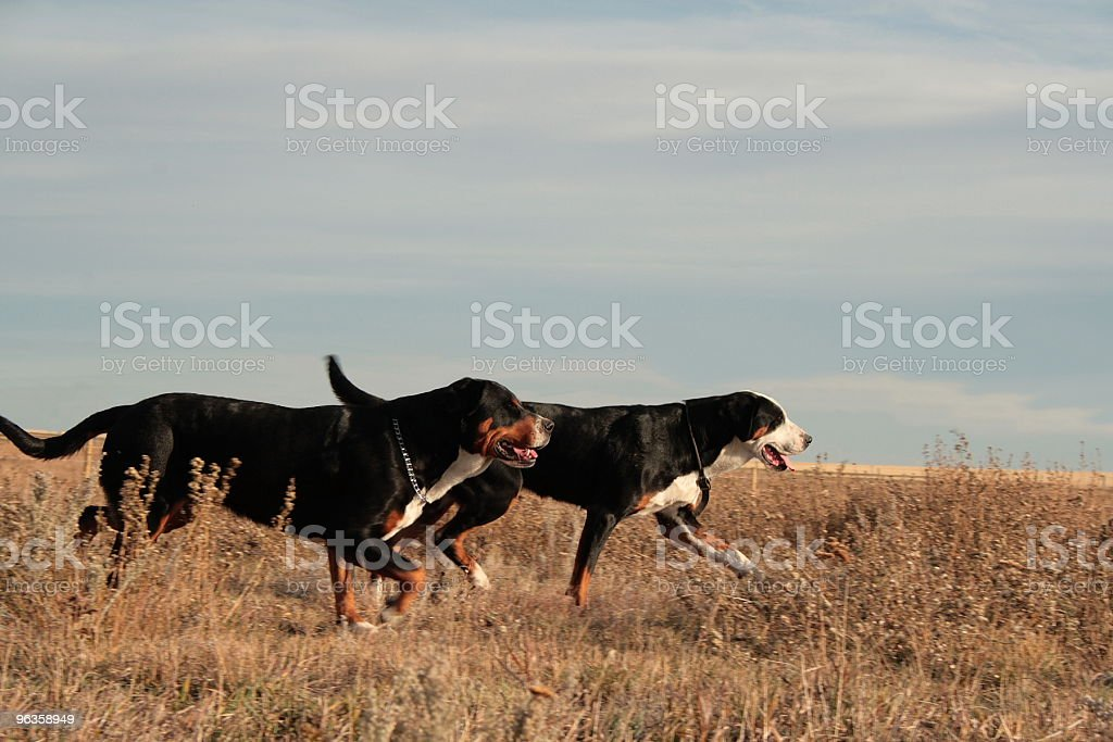 two Greater Swiss Mountain Dogs running royalty-free stock photo
