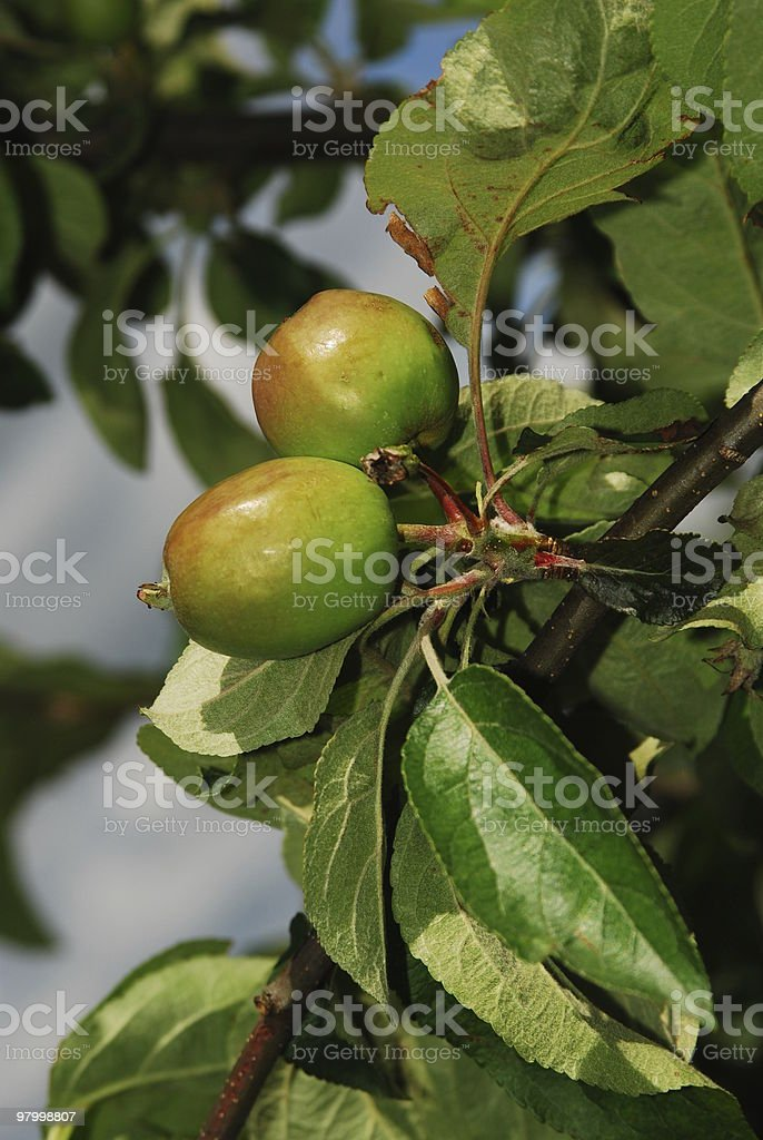two green apples royalty-free stock photo