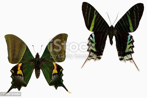 Left: Teinopalpus imperialis, the Kaiser-i-Hind, is a rare species of swallowtail butterfly found from Nepal and north India east to north Vietnam.  Right: Urania leilus, the green-banded urania, is a day-flying moth of the family Uraniidae, native from tropical South America.  Butterflies symbolize change, endurance, hope, and life.  Moths symbolize determination, attraction, psychic abilities, and faith.    Image easy to edit and use elements in patterns.