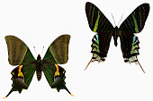 Left: Teinopalpus imperialis, the Kaiser-i-Hind, is a rare species of swallowtail butterfly found from Nepal and north India east to north Vietnam.\n\nRight: Urania leilus, the green-banded urania, is a day-flying moth of the family Uraniidae, native from tropical South America.\n\nButterflies symbolize change, endurance, hope, and life.\n\nMoths symbolize determination, attraction, psychic abilities, and faith. \n\n\nImage easy to edit and use elements in patterns.