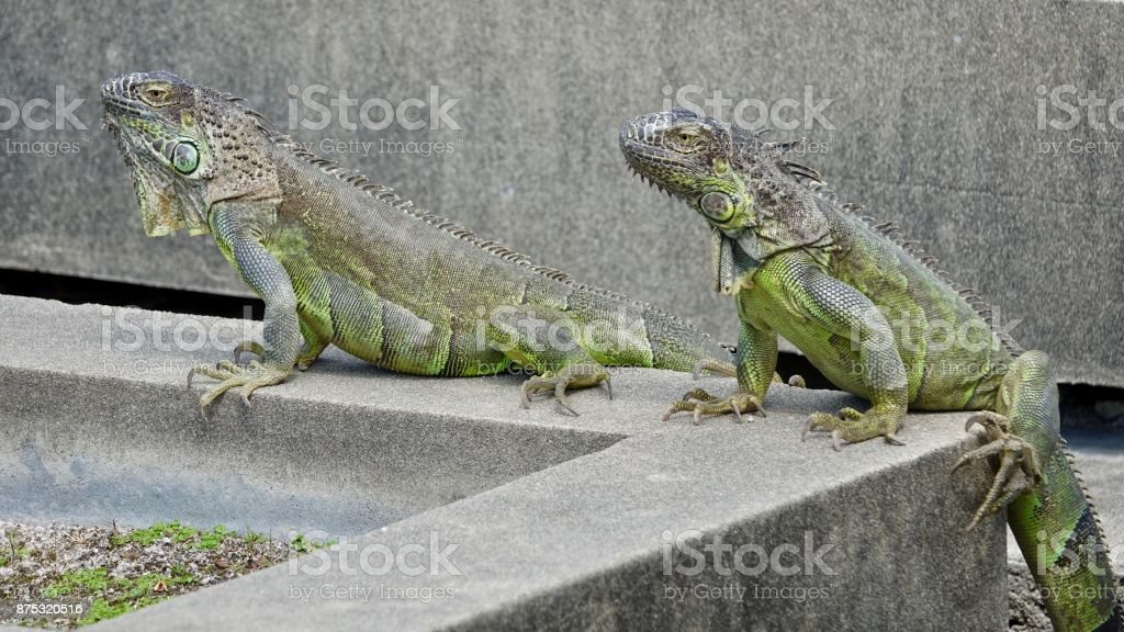 Two Green Iguana stock photo