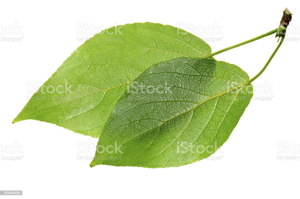 Two green leaves attached by stem on white background  stock photo