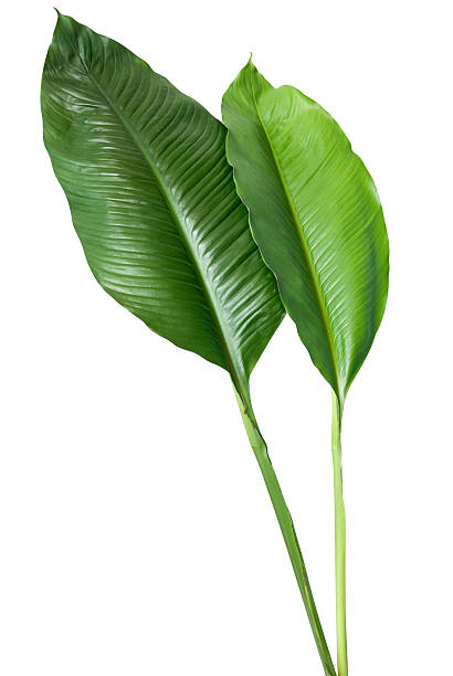 Two green leaves on white background stock photo
