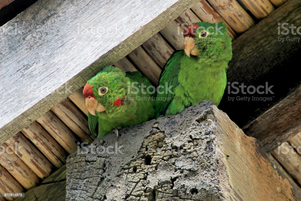 Two green lorikeet parrots birds sitting under a housetop, Orosi Valley, Costa Rica stock photo